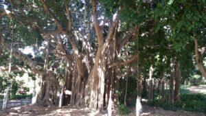 Banyan fig at Brisbane City Botanical Gardens