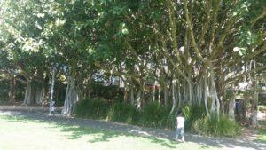 Banyan grove at Roma Street Parkland, Brisbane CBD