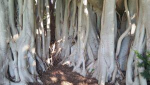 Banyan trunks at Roma Street Gardens, Brisbane CBD