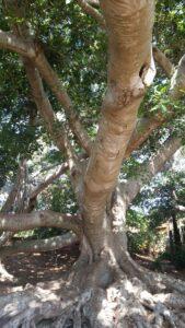 Moreton Bay fig trees at Wellington Point, Brisbane