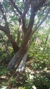 Young Moreton Bay fig