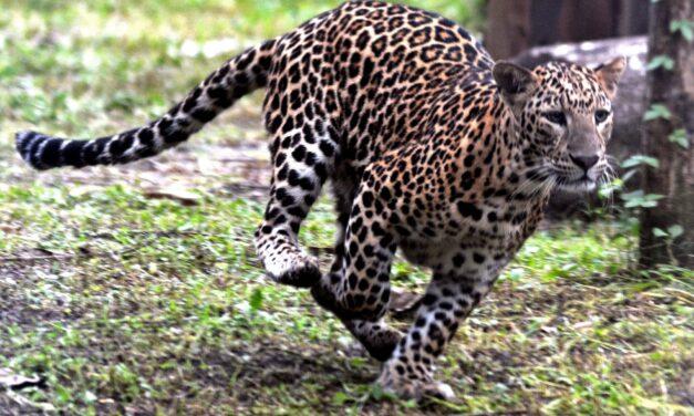 Villagers Shot Dead Leopard That killed Boy In UP